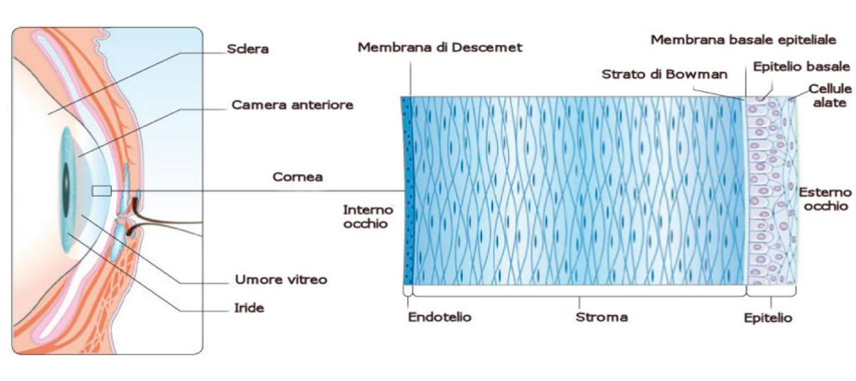 Cornea e distrofie corneali