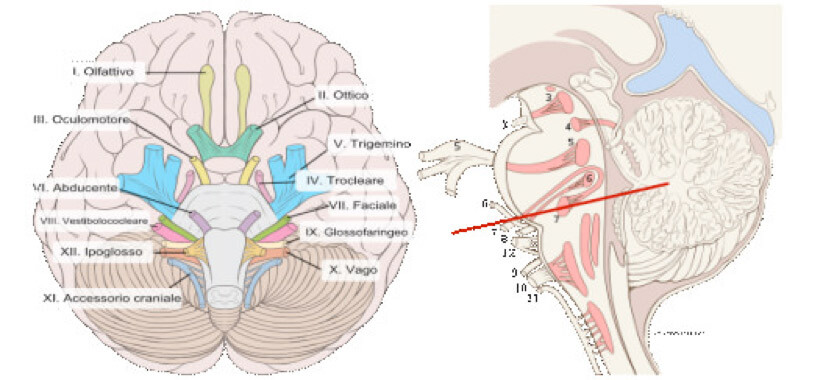 I 12 nervi cranici